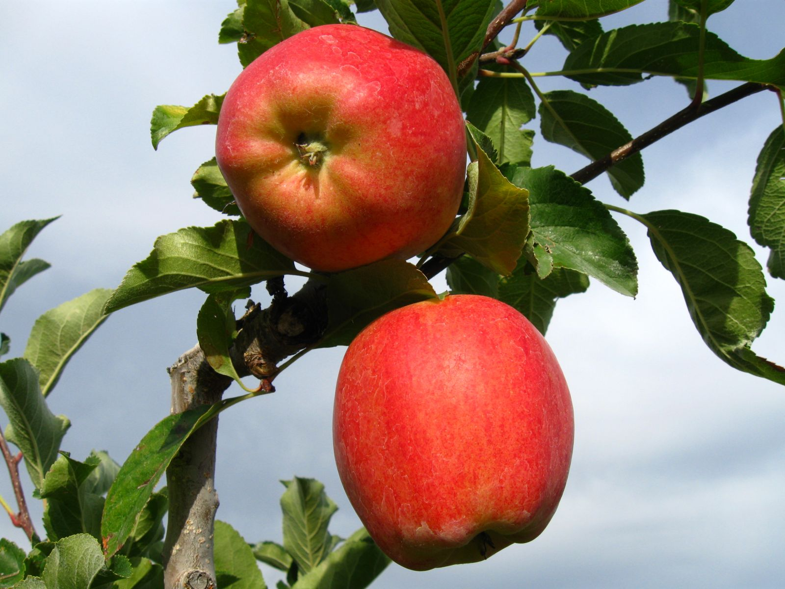 Apple Varieties Bc Tree Fruit Production Guide