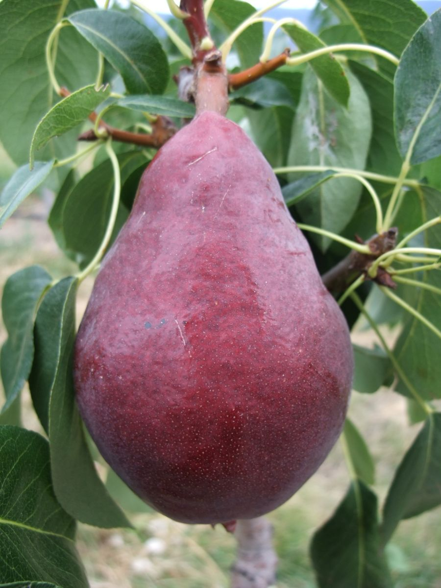 Pear Varieties Bc Tree Fruit Production Guide