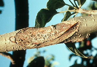 anthracnose canker, apple