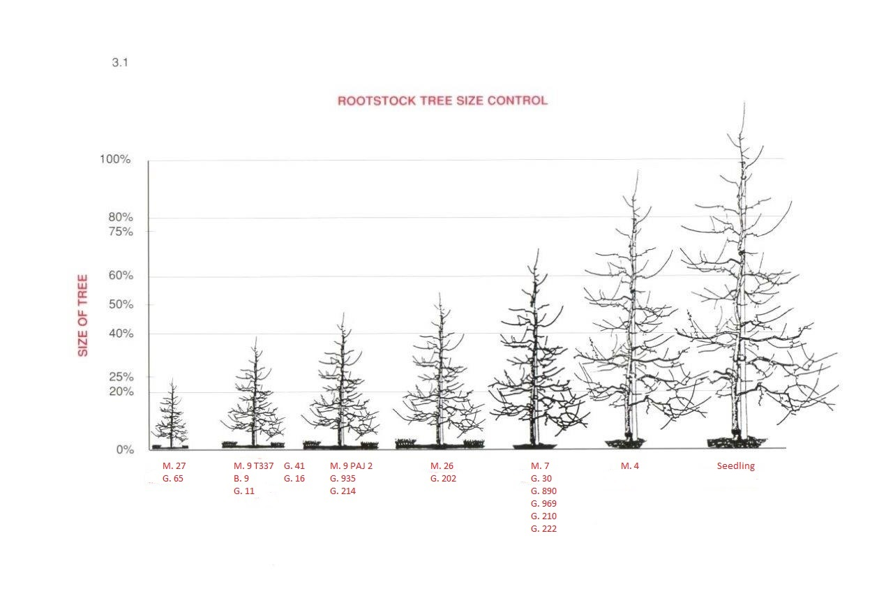 Apple Rootstock Tree Size Chart