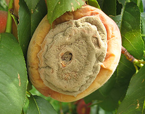 Brown rot on peach