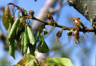 Brown rot shoot blight on apricot